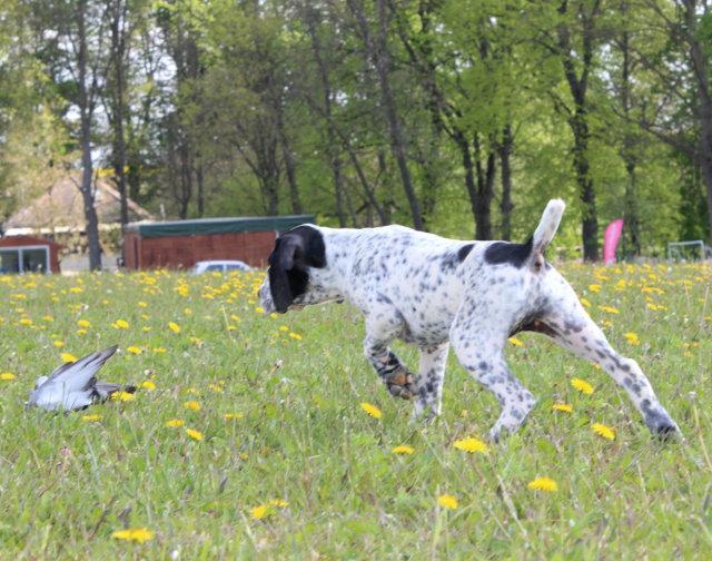 Dog kennel - puppies Braque Bleu d'Auvergne